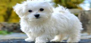 Yavru Köpeklerde Bakım, Eğitim ve Sosyalleşme Nasıl Sağlanır?